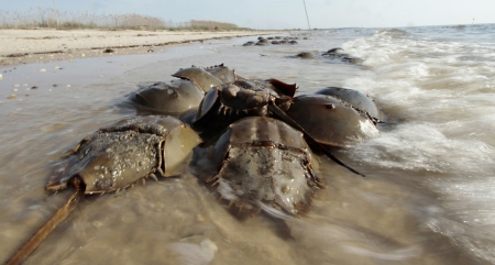 Horseshoe crabs in the Atlantic, Elizabeth Fagan, Lake Michigans Left Coast