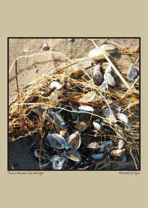 Invasive Mussels, Lake Michigan