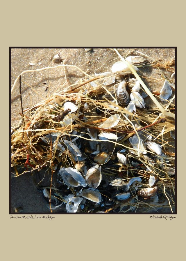 Invasive Mussels, Lake Michigan, 5x7, by Elizabeth G Fagan, digital art on lakemichigansleftcoast.com, from Lake Michigan's Left Coast