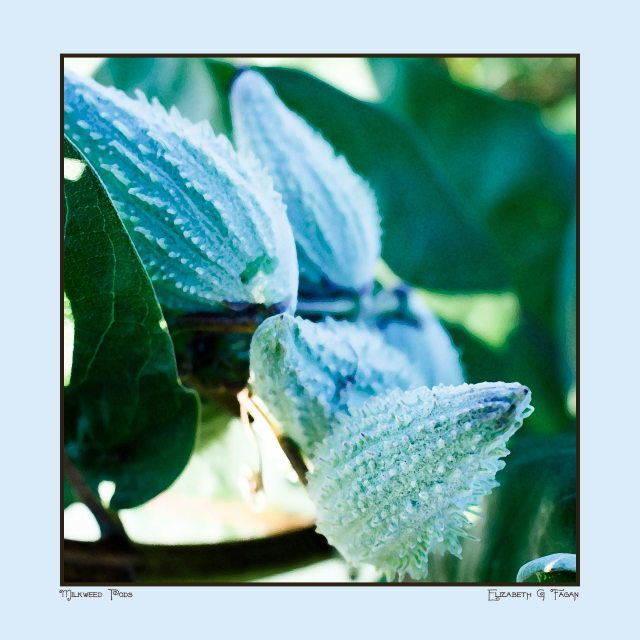 Milkweed Pods, 8x8, by Elizabeth G Fagan, digital art on lakemichigansleftcoast.com, from Lake Michigan's Left Coast