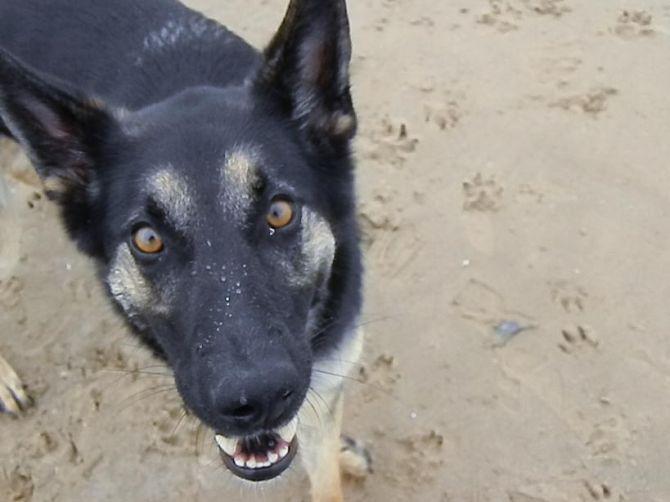 Rosie Fagan, the German Shepherd, by Elizabeth G Fagan, lakemichigansleftcoast.com