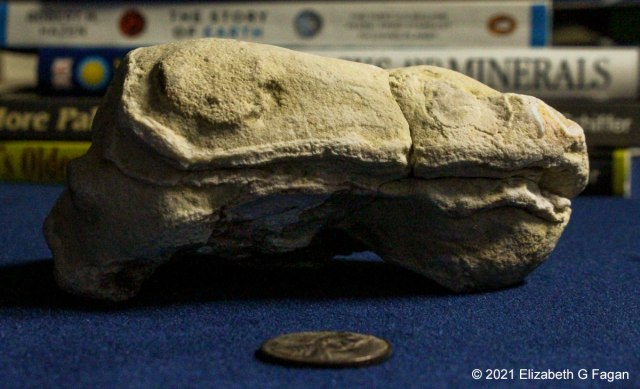 Permian Amphibian Skull, 280 to 235 million years old, Great Lakes region, North American, © Elizabeth G Fagan, lakemichigansleftcoast.com, Lake Michigan's Left Coast